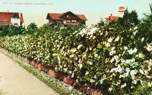 A hedge of Cherokee Roses on Arlington Drive
