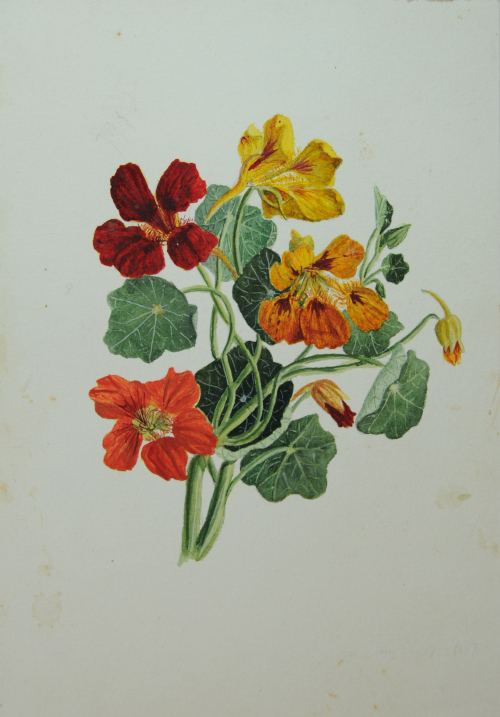 Eva Scott Fenyes (1849-1930). Nasturtium with leaves and red, yellow, and orange flowers. Watercolor sketch (ESF.005.1039)